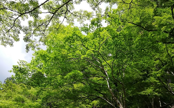 香嵐渓の初夏の新緑